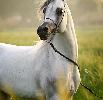 "Stallions Purebred"" width="